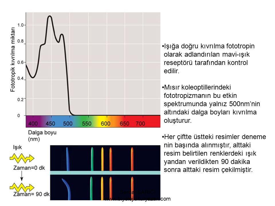 Işığa doğru kıvrılma fototropin olarak adlandırılan mavi-ışık reseptörü tarafından kontrol edilir.