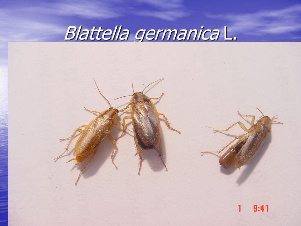 Blattella germanica L.
