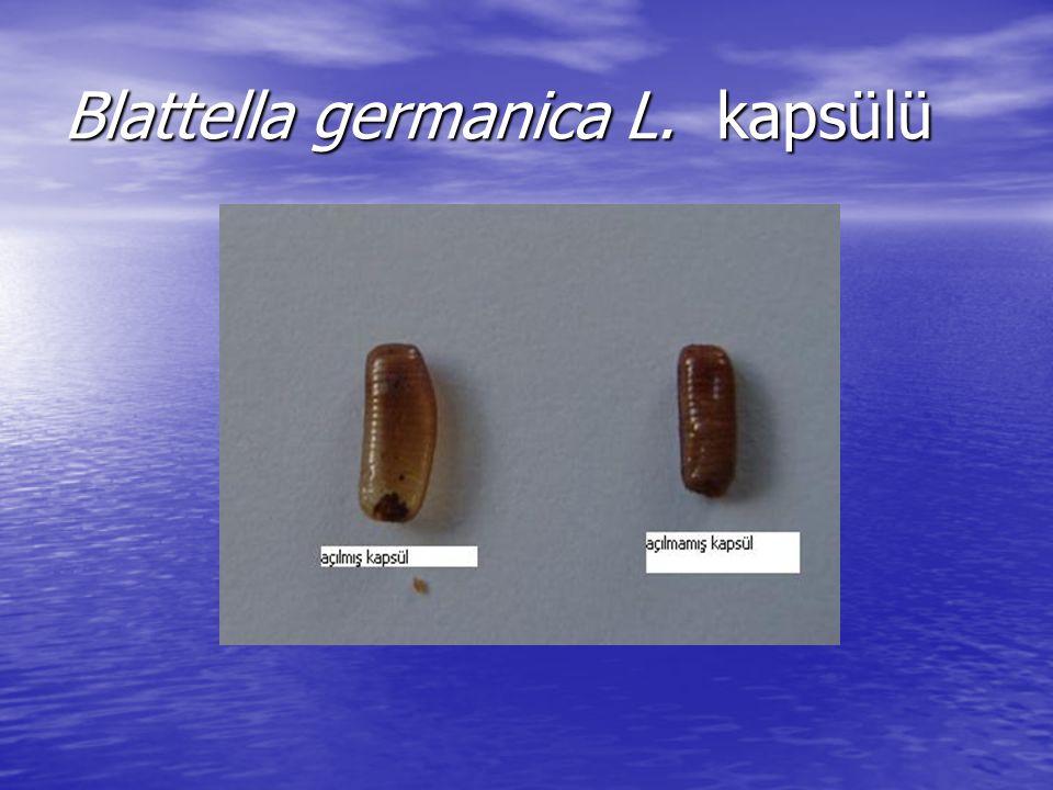 Blattella germanica L. kapsülü