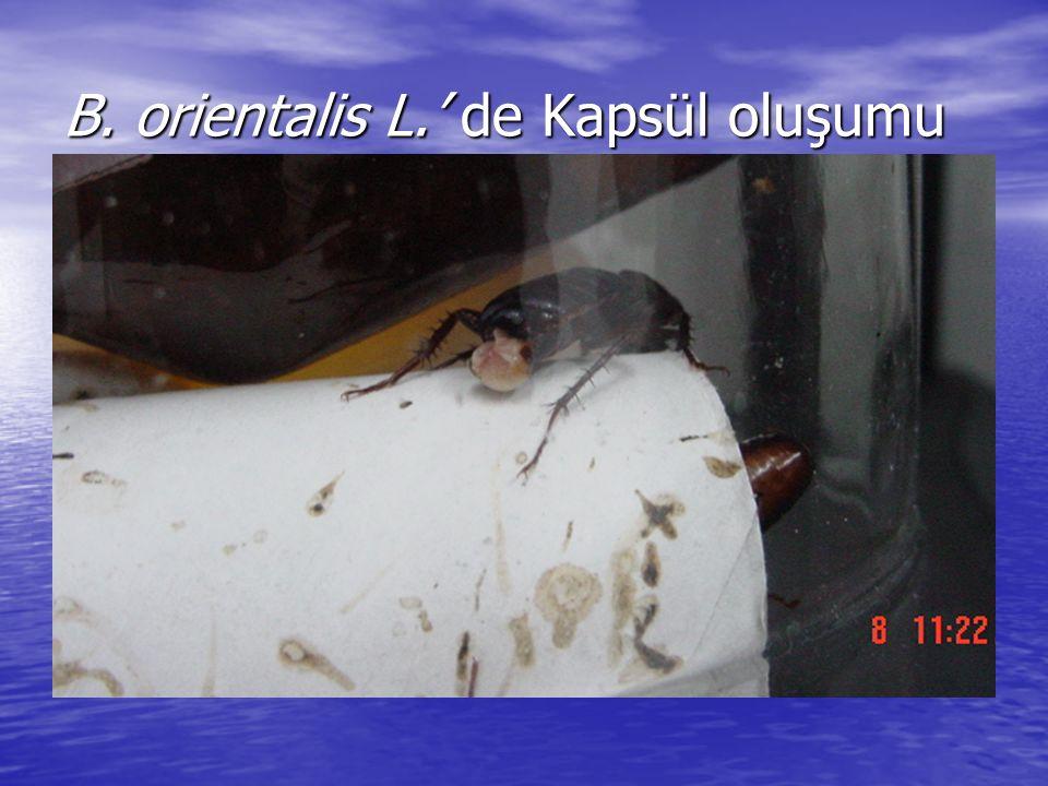 B. orientalis L.' de Kapsül oluşumu
