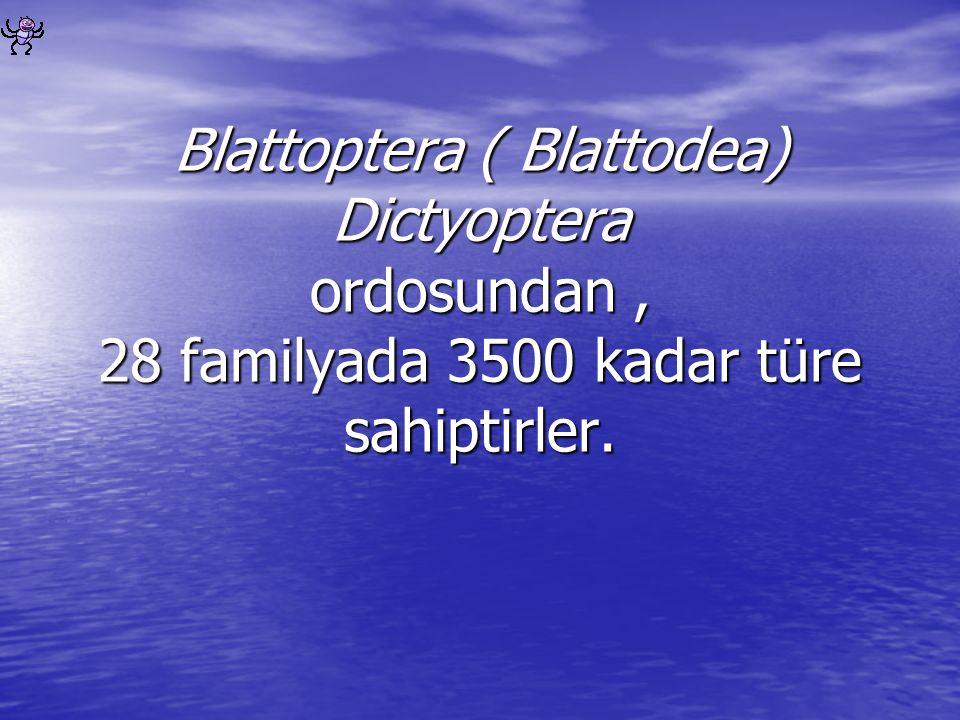 Blattoptera ( Blattodea) Dictyoptera ordosundan, 28 familyada 3500 kadar türe sahiptirler.