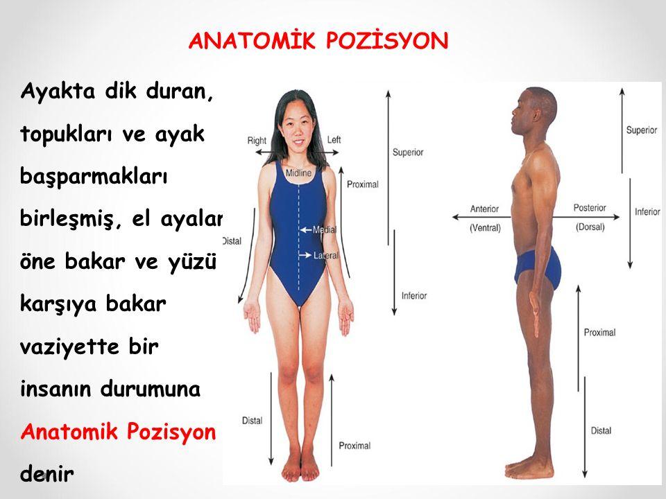 Ayakta dik duran, topukları ve ayak başparmakları birleşmiş, el ayaları öne bakar ve yüzü karşıya bakar vaziyette bir insanın durumuna Anatomik Pozisyon denir ANATOMİK POZİSYON