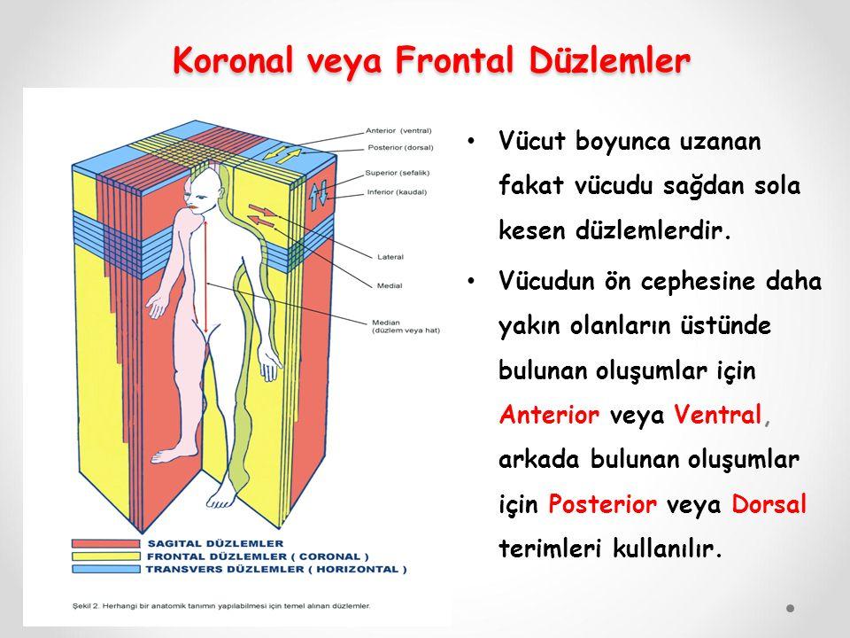 Koronal veya Frontal Düzlemler Koronal veya Frontal Düzlemler Vücut boyunca uzanan fakat vücudu sağdan sola kesen düzlemlerdir. Vücudun ön cephesine d