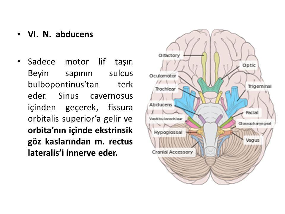 VI.N. abducens Sadece motor lif taşır. Beyin sapının sulcus bulbopontinus'tan terk eder.