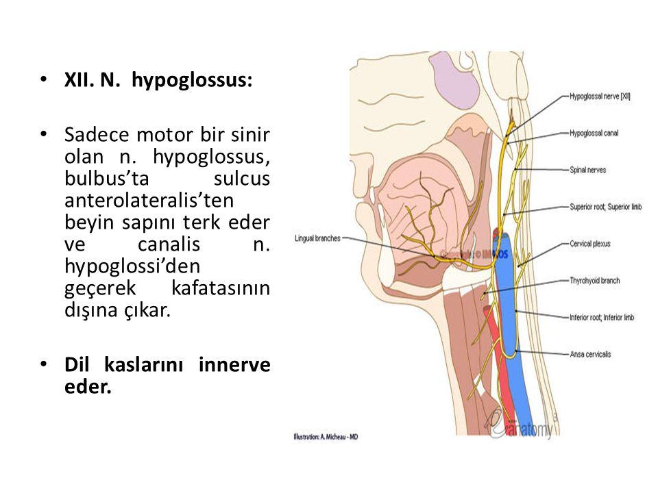 XII.N. hypoglossus: Sadece motor bir sinir olan n.