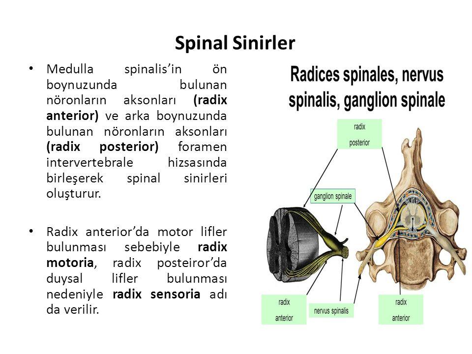 Spinal Sinirler Medulla spinalis'in ön boynuzunda bulunan nöronların aksonları (radix anterior) ve arka boynuzunda bulunan nöronların aksonları (radix posterior) foramen intervertebrale hizsasında birleşerek spinal sinirleri oluşturur.
