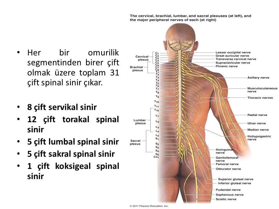 Her bir omurilik segmentinden birer çift olmak üzere toplam 31 çift spinal sinir çıkar.