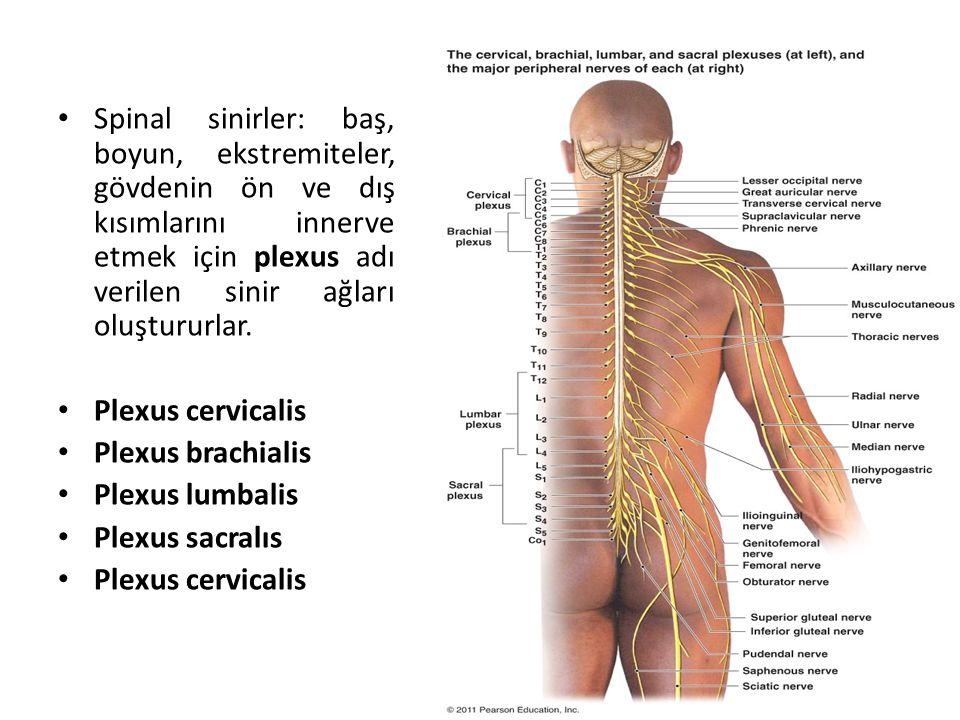 Spinal sinirler: baş, boyun, ekstremiteler, gövdenin ön ve dış kısımlarını innerve etmek için plexus adı verilen sinir ağları oluştururlar.