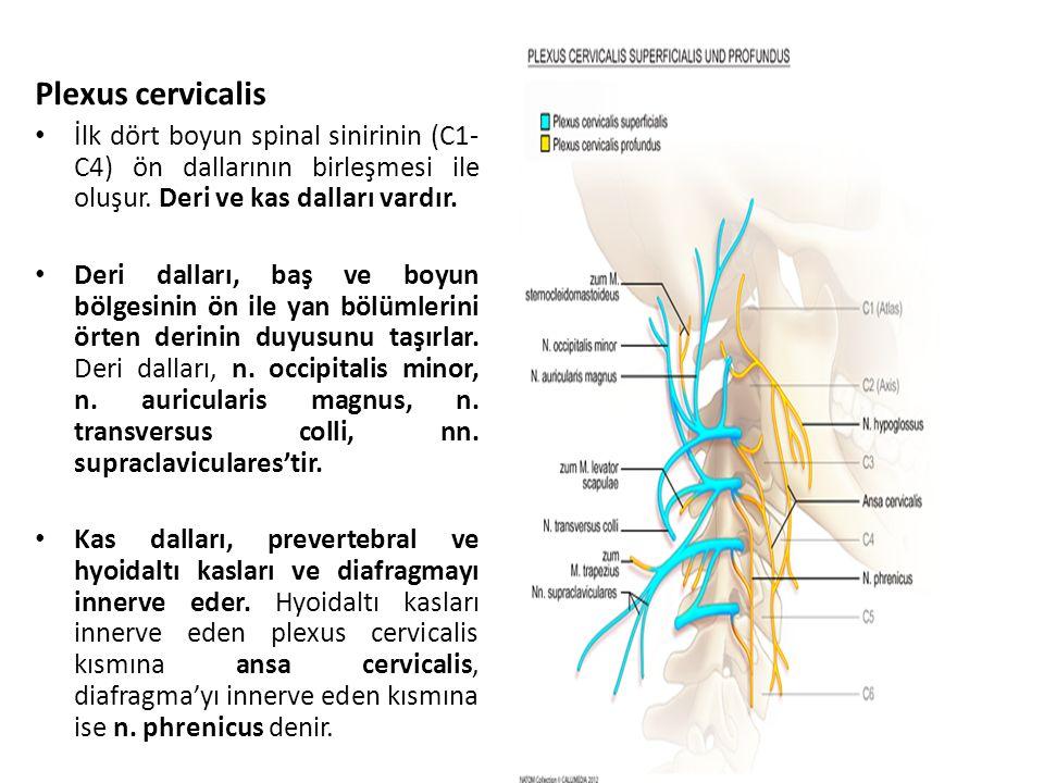 İlk dört boyun spinal sinirinin (C1- C4) ön dallarının birleşmesi ile oluşur.