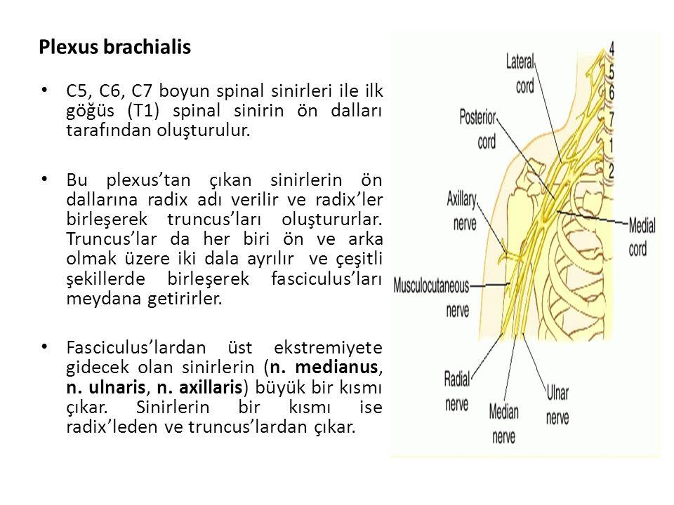 Plexus brachialis C5, C6, C7 boyun spinal sinirleri ile ilk göğüs (T1) spinal sinirin ön dalları tarafından oluşturulur.