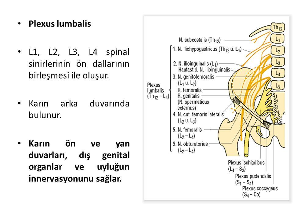 Plexus lumbalis L1, L2, L3, L4 spinal sinirlerinin ön dallarının birleşmesi ile oluşur.