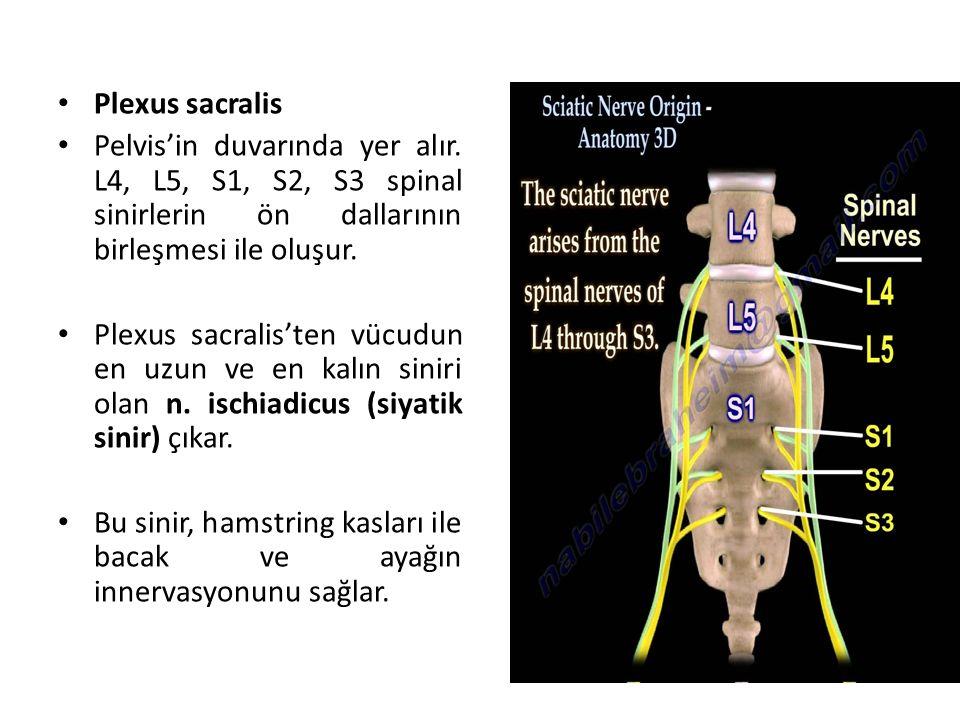 Plexus sacralis Pelvis'in duvarında yer alır.