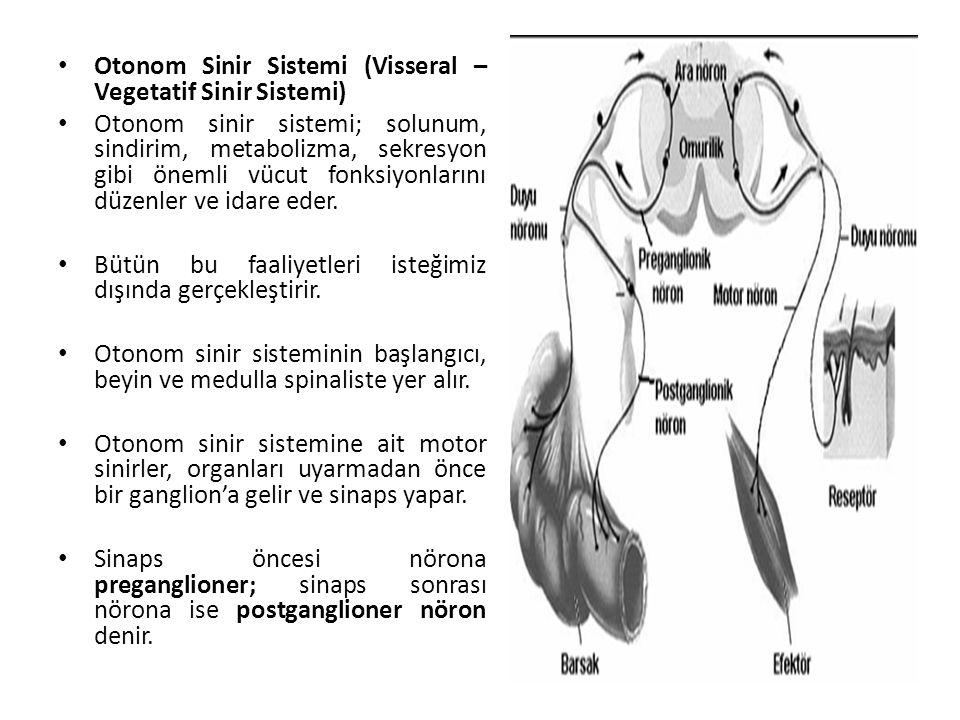 Otonom Sinir Sistemi (Visseral – Vegetatif Sinir Sistemi) Otonom sinir sistemi; solunum, sindirim, metabolizma, sekresyon gibi önemli vücut fonksiyonlarını düzenler ve idare eder.