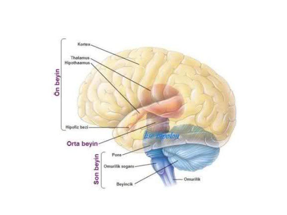 Mesencephalon'un arka yüzünden ikisi altta, ikisi üstte olmak üzere 4 adet kabartı (corpora quadrigemina) vardır.