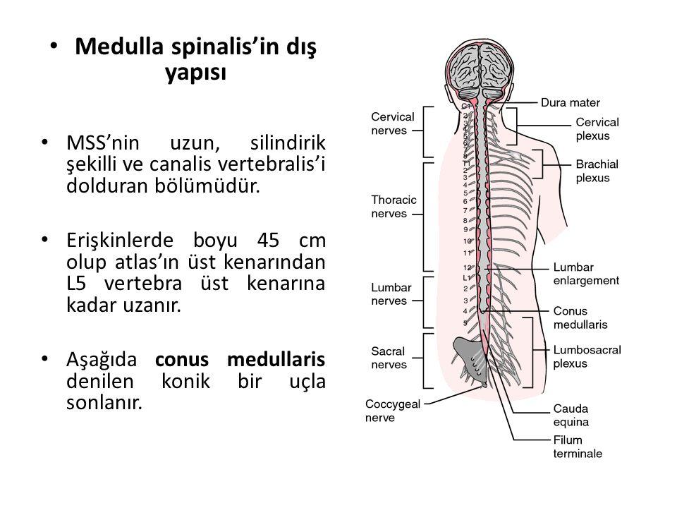 Medulla spinalis'in dış yapısı MSS'nin uzun, silindirik şekilli ve canalis vertebralis'i dolduran bölümüdür.