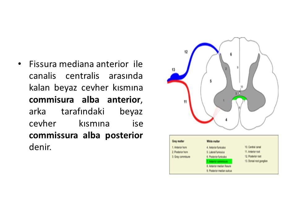 Fissura mediana anterior ile canalis centralis arasında kalan beyaz cevher kısmına commisura alba anterior, arka tarafındaki beyaz cevher kısmına ise commissura alba posterior denir.