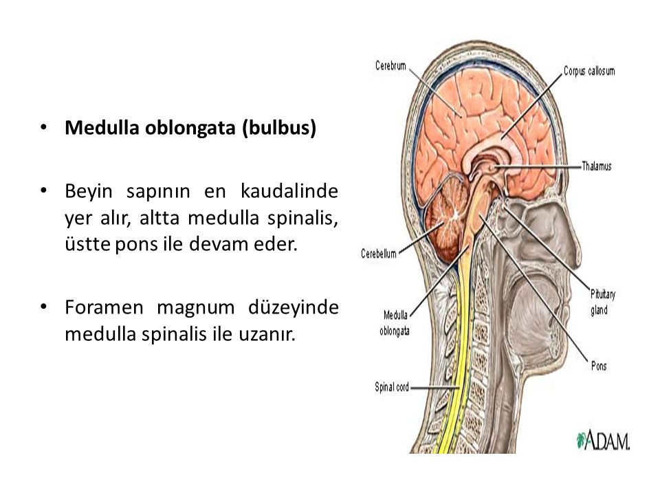 Medulla oblongata (bulbus) Beyin sapının en kaudalinde yer alır, altta medulla spinalis, üstte pons ile devam eder.