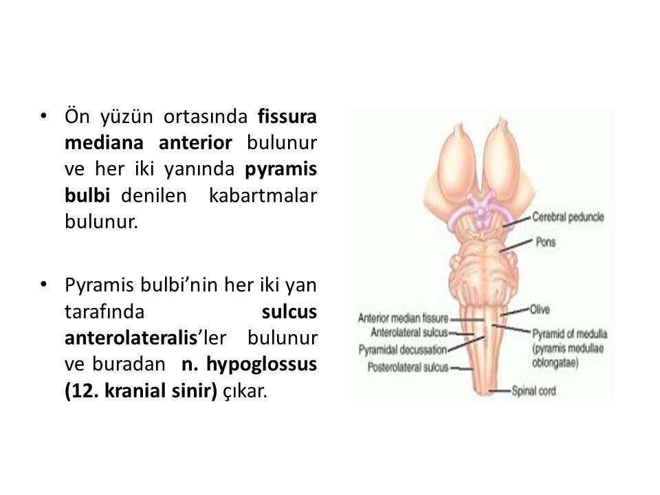 Ön yüzün ortasında fissura mediana anterior bulunur ve her iki yanında pyramis bulbi denilen kabartmalar bulunur.