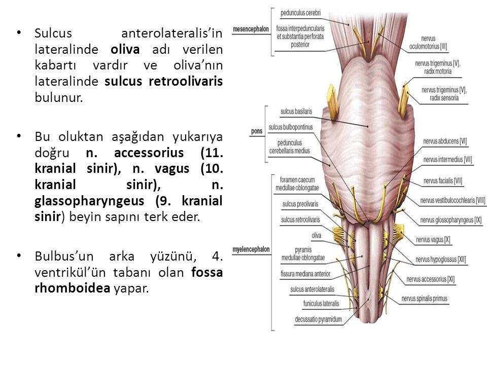 Sulcus anterolateralis'in lateralinde oliva adı verilen kabartı vardır ve oliva'nın lateralinde sulcus retroolivaris bulunur.