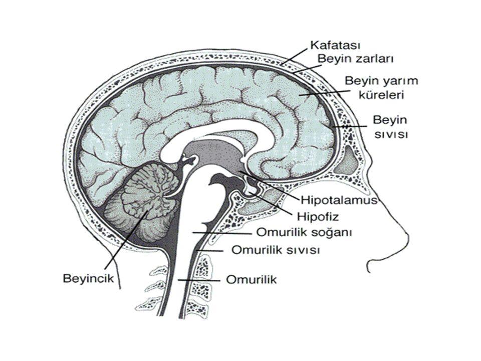 Diencephalon (ara beyin) Mesencephalon ile beyin hemisferleri arasında bulunur.
