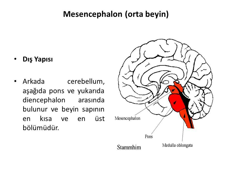 Mesencephalon (orta beyin) Dış Yapısı Arkada cerebellum, aşağıda pons ve yukarıda diencephalon arasında bulunur ve beyin sapının en kısa ve en üst bölümüdür.