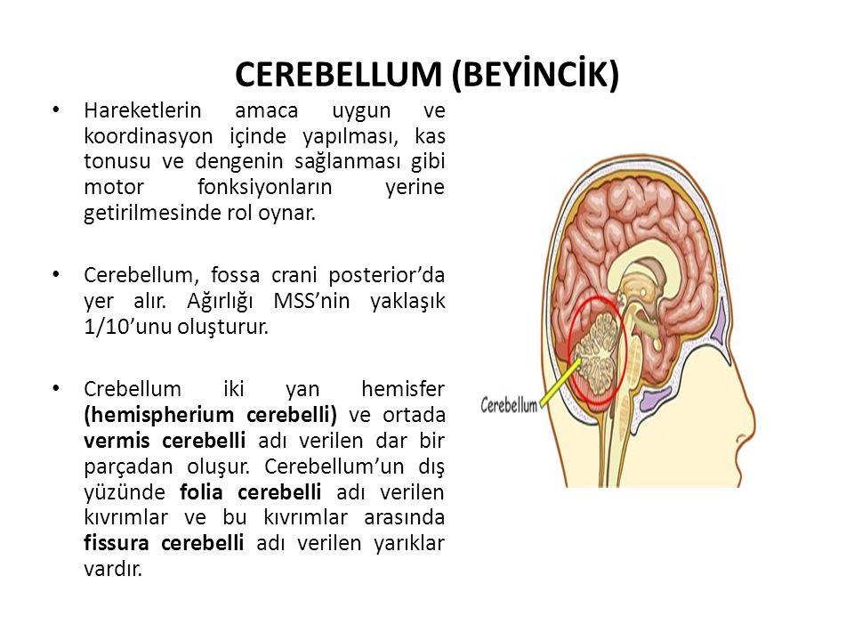 CEREBELLUM (BEYİNCİK) Hareketlerin amaca uygun ve koordinasyon içinde yapılması, kas tonusu ve dengenin sağlanması gibi motor fonksiyonların yerine getirilmesinde rol oynar.