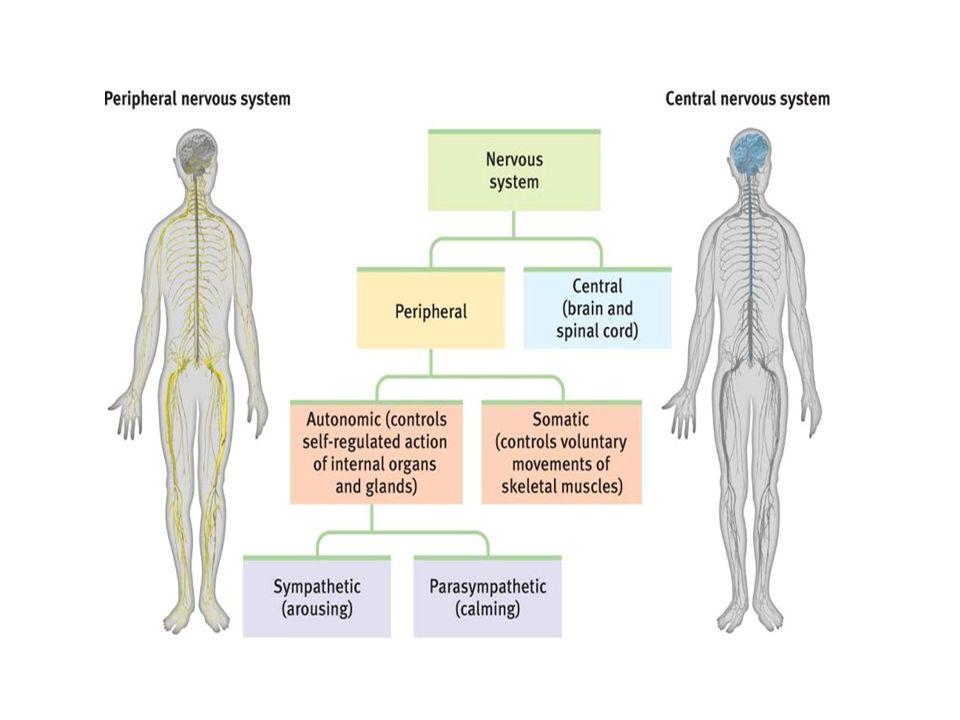 Cerebellum'un İç Yapısı Cerebellum kesitlerinde, dışta cortex cerebelli (gri cevher) ve içte corpus medullare cerebelli (substantia alba) olmak üzere iki kısım vardır.