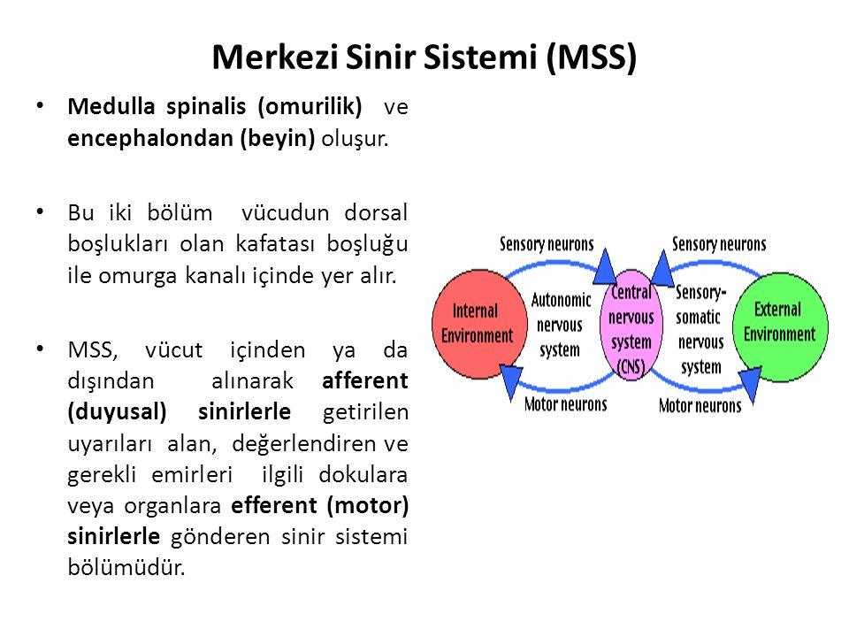 Merkezi Sinir Sistemi (MSS) Medulla spinalis (omurilik) ve encephalondan (beyin) oluşur.