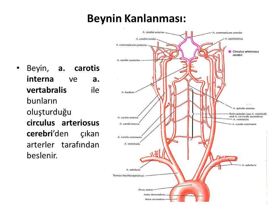 Beynin Kanlanması: Beyin, a.carotis interna ve a.