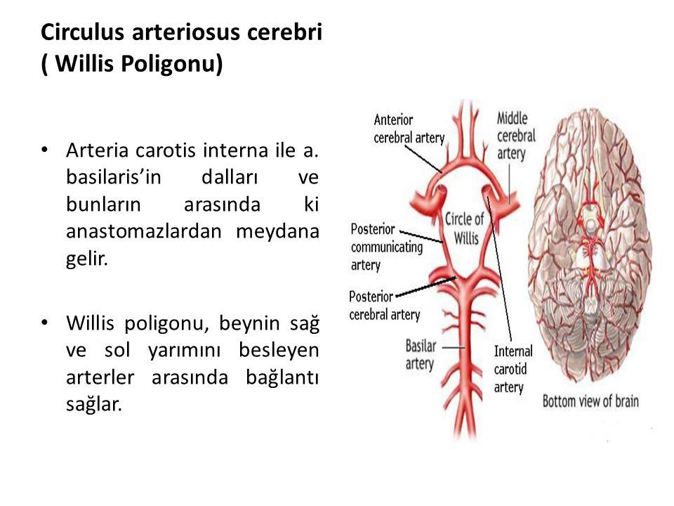 Circulus arteriosus cerebri ( Willis Poligonu) Arteria carotis interna ile a.