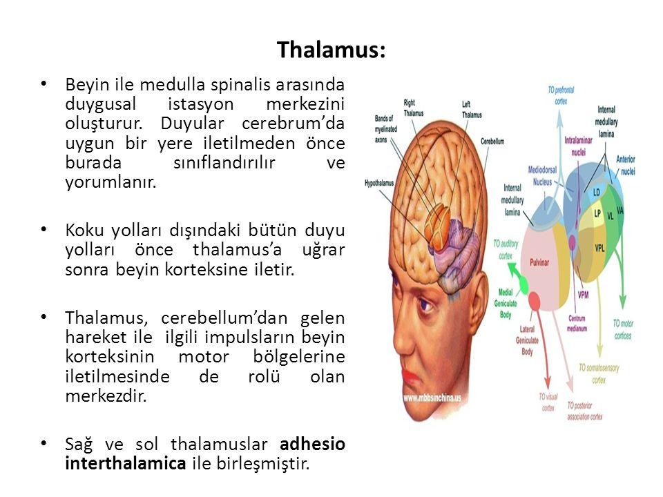 Thalamus: Beyin ile medulla spinalis arasında duygusal istasyon merkezini oluşturur.