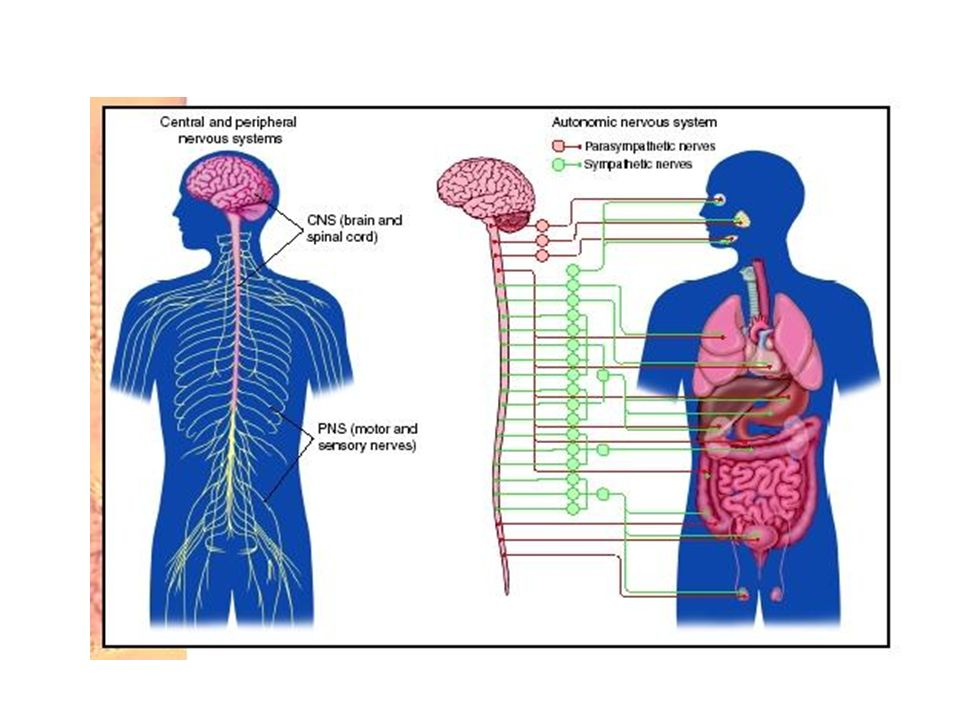 Hipothalamus'un fonksiyonları Otonom sinir sisteminin kontrol merkezidir.