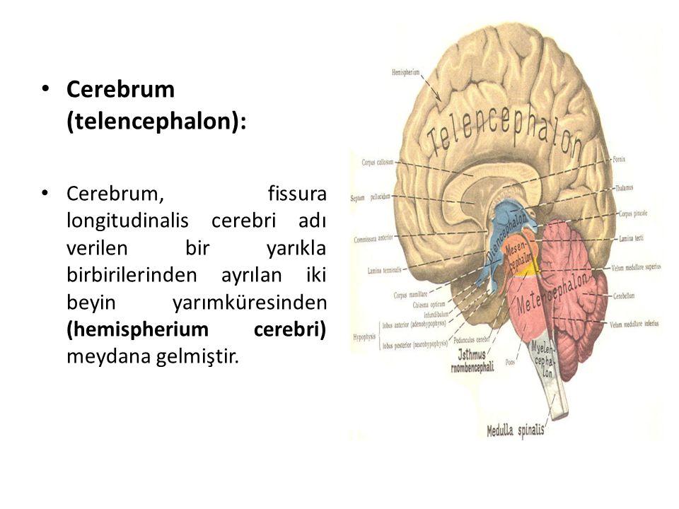 Cerebrum (telencephalon): Cerebrum, fissura longitudinalis cerebri adı verilen bir yarıkla birbirilerinden ayrılan iki beyin yarımküresinden (hemispherium cerebri) meydana gelmiştir.