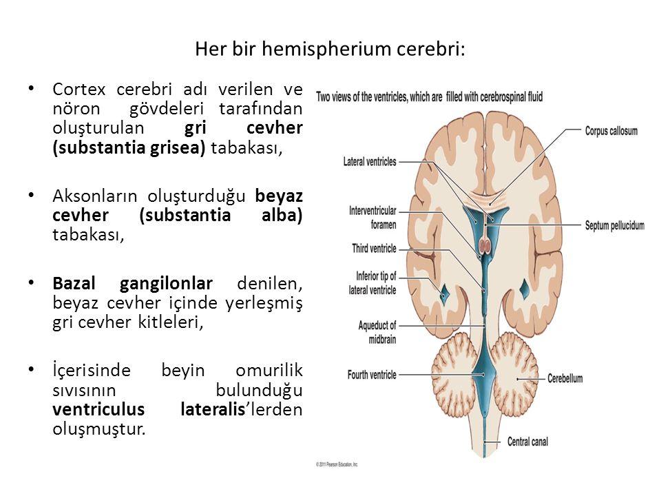 Her bir hemispherium cerebri: Cortex cerebri adı verilen ve nöron gövdeleri tarafından oluşturulan gri cevher (substantia grisea) tabakası, Aksonların oluşturduğu beyaz cevher (substantia alba) tabakası, Bazal gangilonlar denilen, beyaz cevher içinde yerleşmiş gri cevher kitleleri, İçerisinde beyin omurilik sıvısının bulunduğu ventriculus lateralis'lerden oluşmuştur.