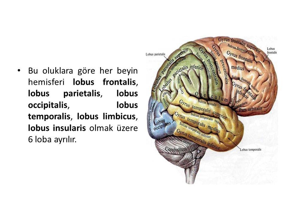 Bu oluklara göre her beyin hemisferi lobus frontalis, lobus parietalis, lobus occipitalis, lobus temporalis, lobus limbicus, lobus insularis olmak üzere 6 loba ayrılır.