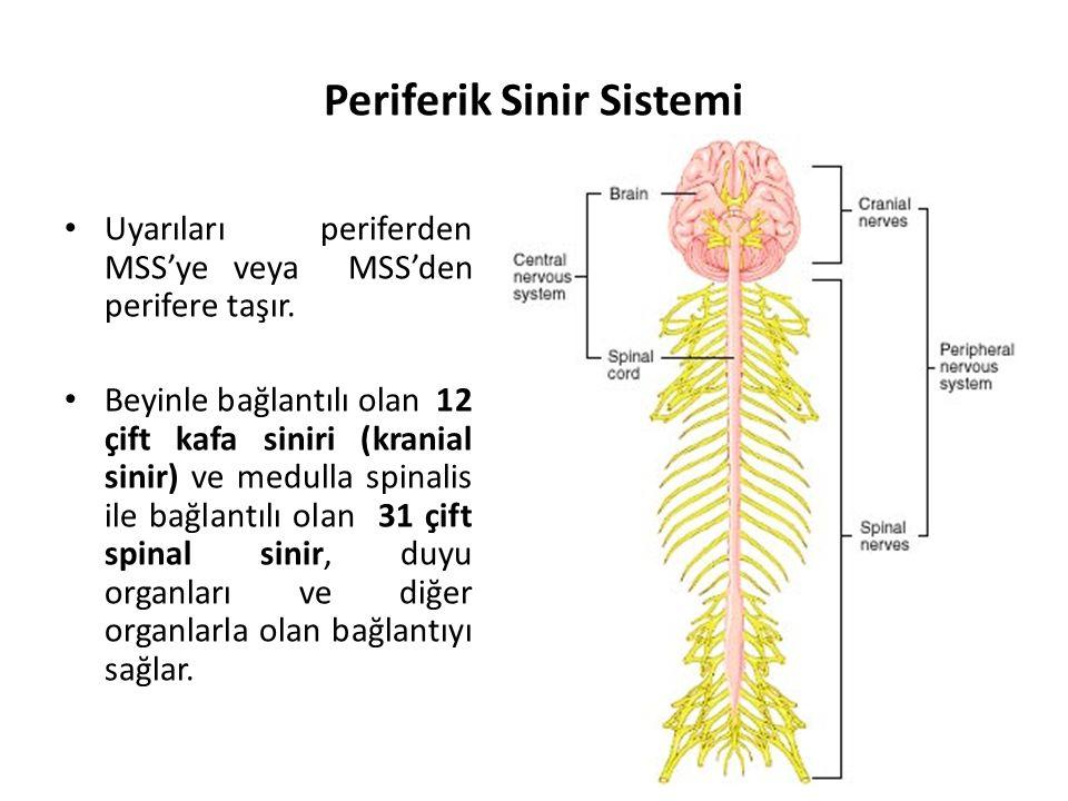 Periferik Sinir Sistemi Uyarıları periferden MSS'ye veya MSS'den perifere taşır.