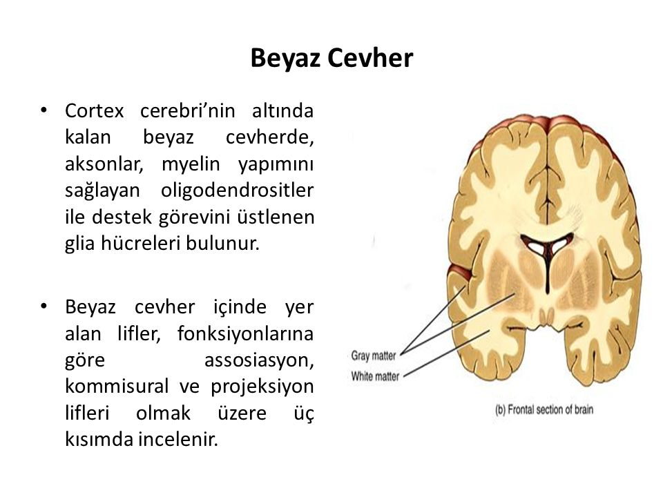 Beyaz Cevher Cortex cerebri'nin altında kalan beyaz cevherde, aksonlar, myelin yapımını sağlayan oligodendrositler ile destek görevini üstlenen glia hücreleri bulunur.