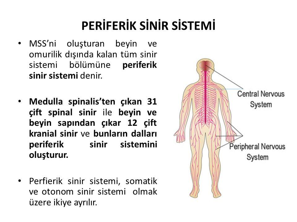 PERİFERİK SİNİR SİSTEMİ MSS'ni oluşturan beyin ve omurilik dışında kalan tüm sinir sistemi bölümüne periferik sinir sistemi denir.
