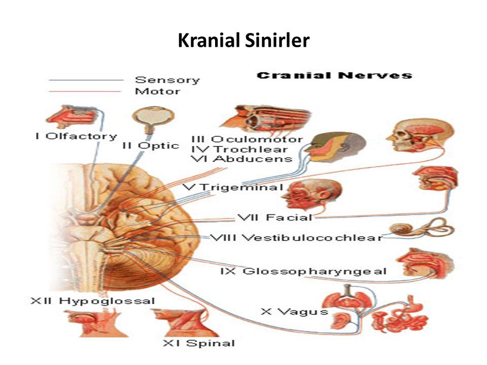 Subthalamus ( ventral thalamus): Thalamus'un ventralinde, capsula interna'nın medialinde bulunur.