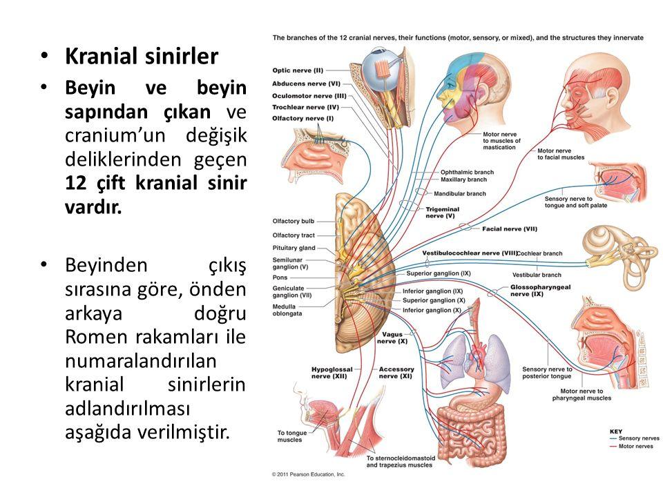 Kranial sinirler Beyin ve beyin sapından çıkan ve cranium'un değişik deliklerinden geçen 12 çift kranial sinir vardır.