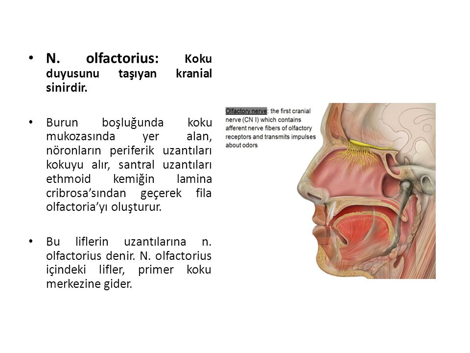N.olfactorius: Koku duyusunu taşıyan kranial sinirdir.