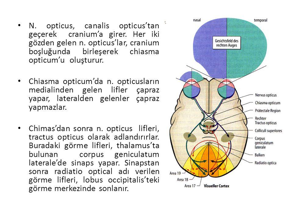 N.opticus, canalis opticus'tan geçerek cranium'a girer.