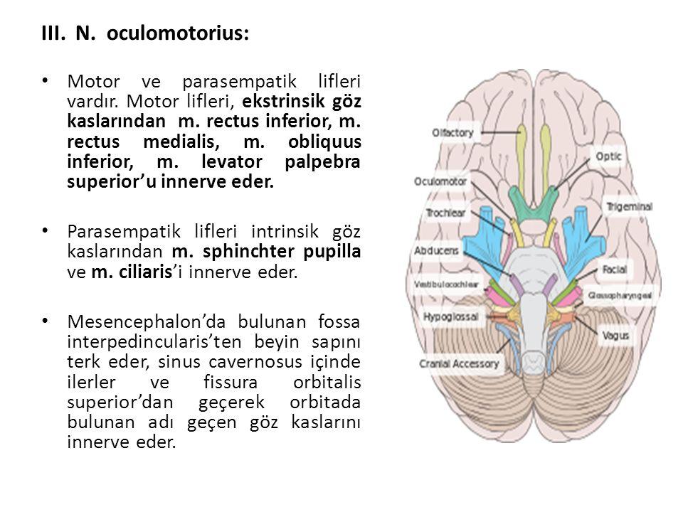 III.N. oculomotorius: Motor ve parasempatik lifleri vardır.