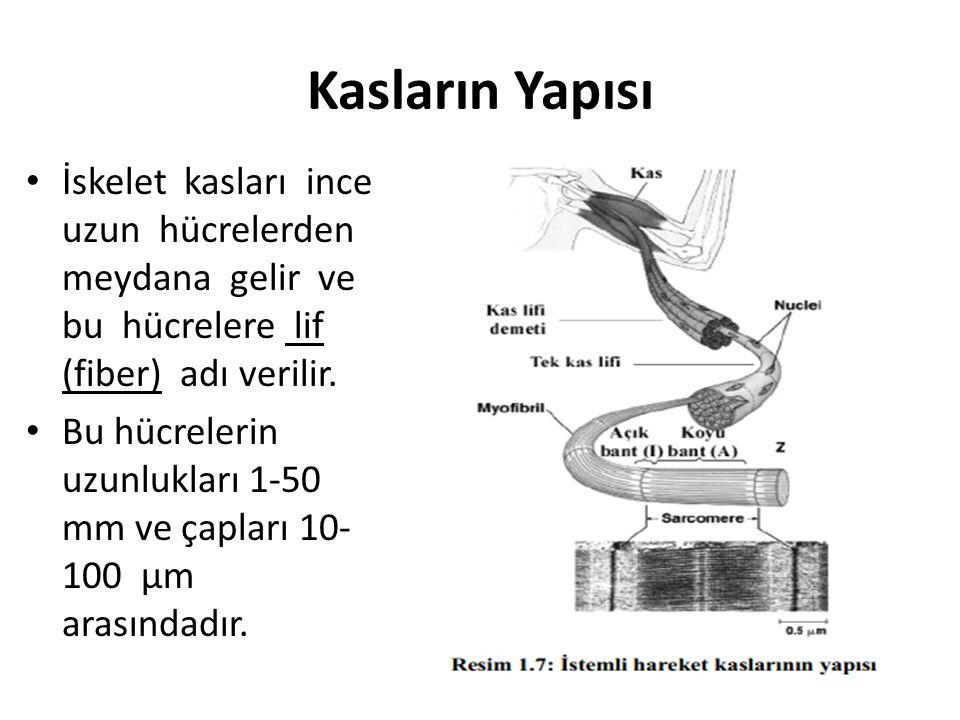 Kasların Yapısı İskelet kasları ince uzun hücrelerden meydana gelir ve bu hücrelere lif (fiber) adı verilir. Bu hücrelerin uzunlukları 1-50 mm ve çapl