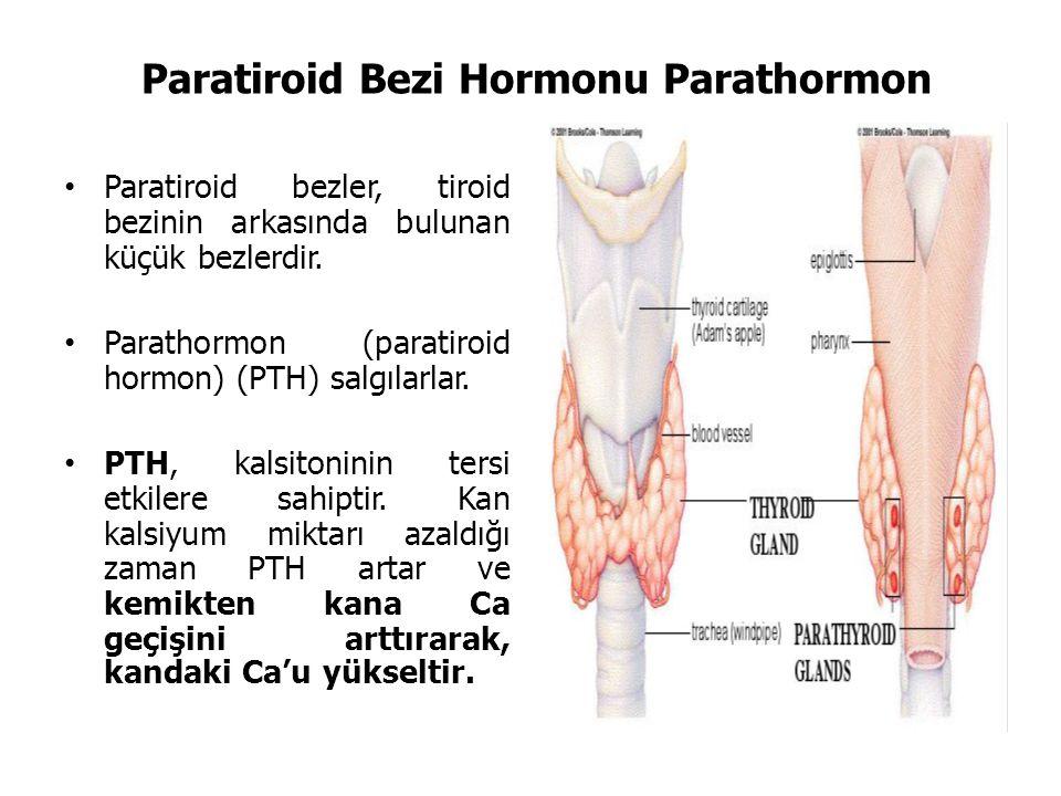 Paratiroid Bezi Hormonu Parathormon Paratiroid bezler, tiroid bezinin arkasında bulunan küçük bezlerdir.