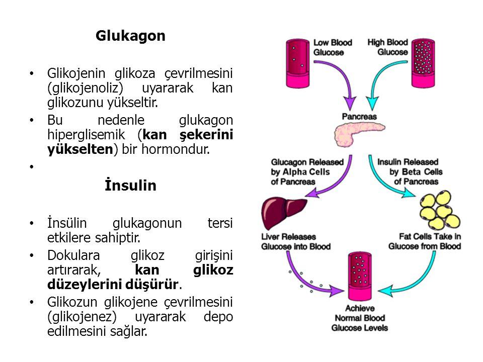 Glukagon Glikojenin glikoza çevrilmesini (glikojenoliz) uyararak kan glikozunu yükseltir. Bu nedenle glukagon hiperglisemik (kan şekerini yükselten) b