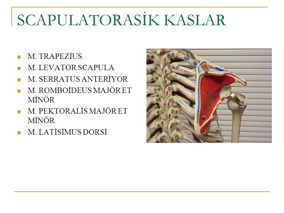 SCAPULATORASİK KASLAR M. TRAPEZİUS M. LEVATOR SCAPULA M. SERRATUS ANTERİYOR M. ROMBOİDEUS MAJÖR ET MİNÖR M. PEKTORALİS MAJÖR ET MİNÖR M. LATİSİMUS DOR