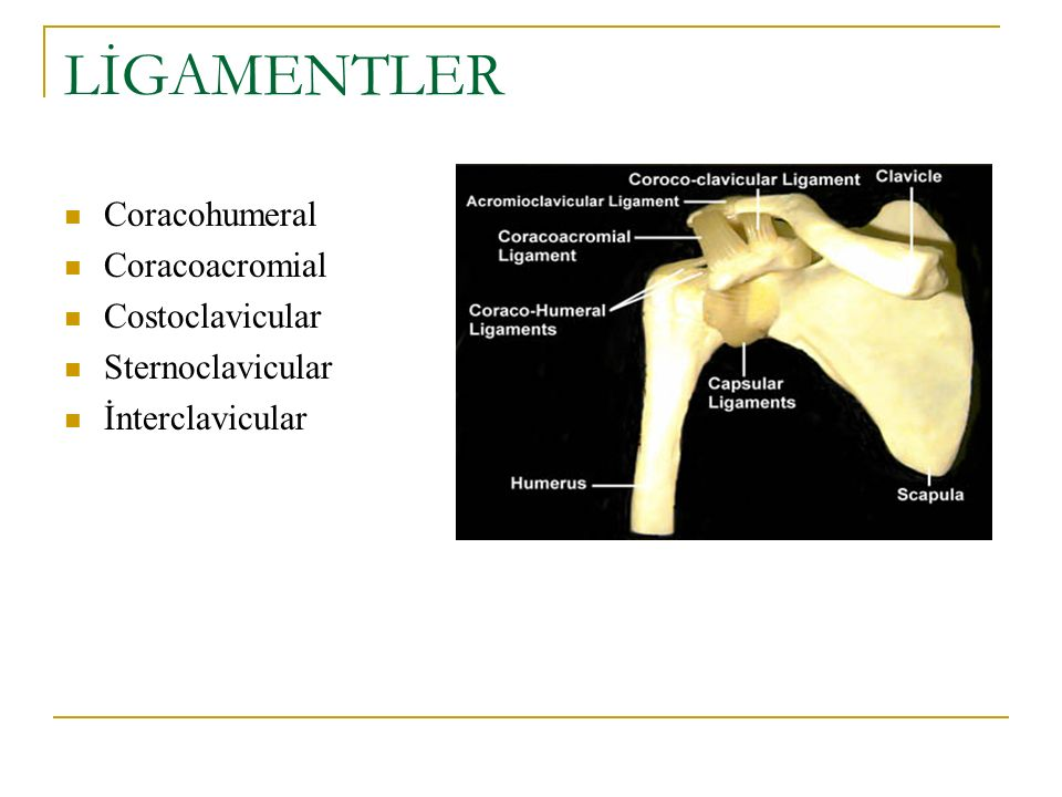 LİGAMENTLER Coracohumeral Coracoacromial Costoclavicular Sternoclavicular İnterclavicular
