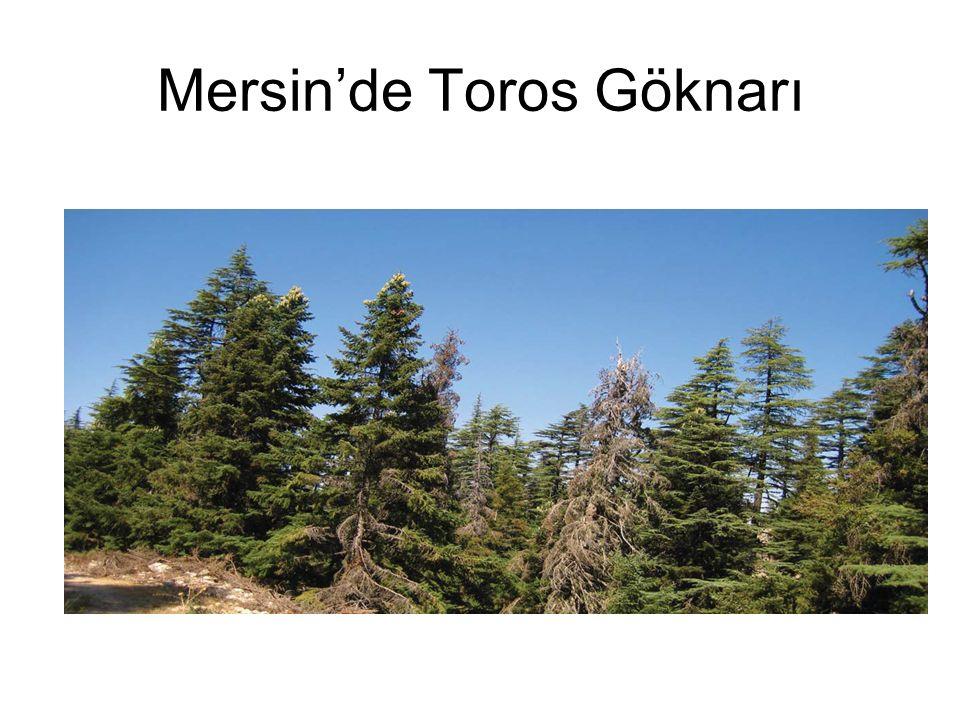 Mersin'de Toros Göknarı