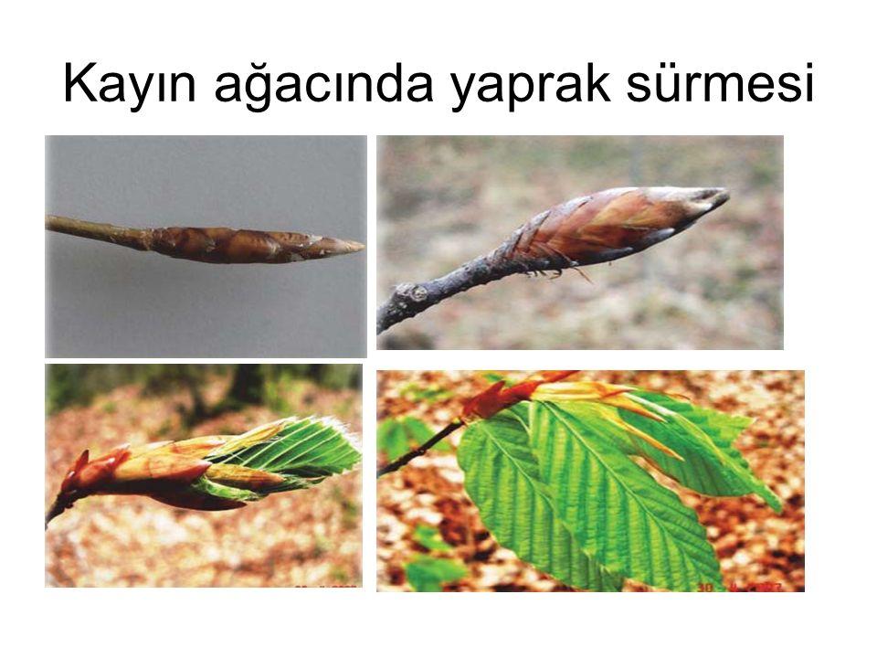 Kayın ağacında yaprak sürmesi